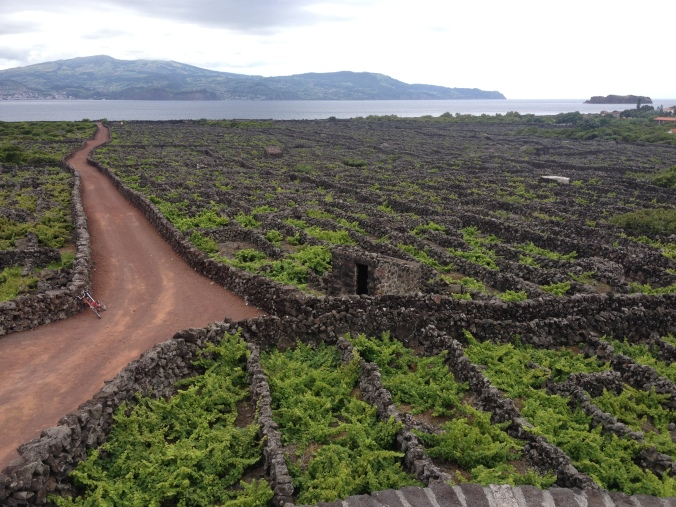 Vines are surrounded by mile upone mile of stone walls to keep warm and out of wind.